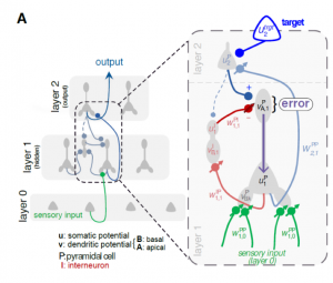 Model of learning in a network of pyramidal cells and lateral inhibitory neurons.